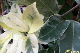 Stephanotis Floribunda variegata