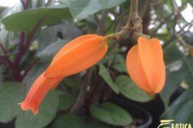 Juanulloa mexicana, Juanulloa aurantiaca