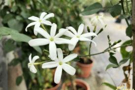 Jasminum olubile/simplicifolium
