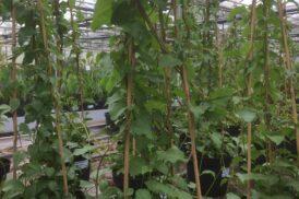 Anredera Cordifolia (Peruaanse Postelein, Madeira Wijnstok)