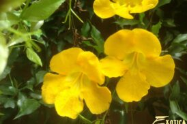 Dolichandra/Macfadyena unguis-cati (Cat claw creeper)
