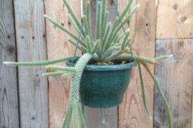 Disocactus flagelliformis (slangencactus)
