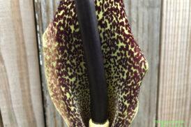 Sauromatum Venosum (Voodoo Lelie)