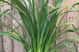 Phormium Tenax (groen)