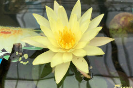 Nymphaea 'Yellow Supan' (tropische waterlelie)