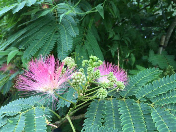 Albizia Julibrissin in bloei