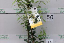Trachelospermum Jasminoides Star of Toscany (Geel)