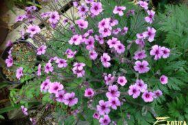 Geranium Maderense (Ooievaarsbek)