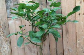 Citrus Medica (Cedercitroen, Reuzencitroen, Sukadecitroen)