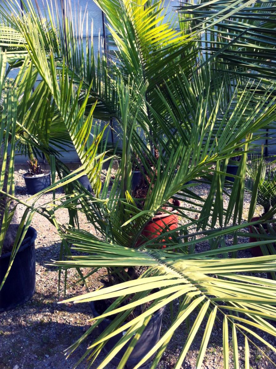 In de kijker: Jubaea chilensis
