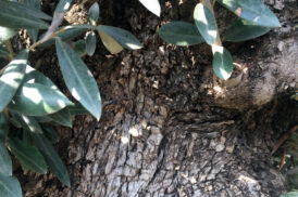 Olea Europaea (Olijfboom)